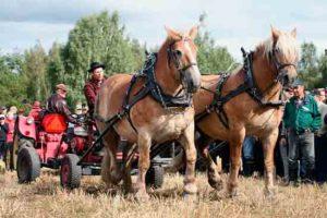 Miika Åfeltin hevoset Terttu ja Diktus vetokisassa vanhaa traktoria vastaan 2010