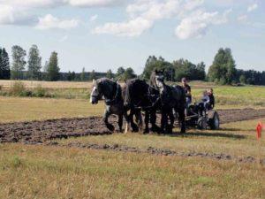 Miika Åfeltin Percheron-hevosten kyntönäytös 2015